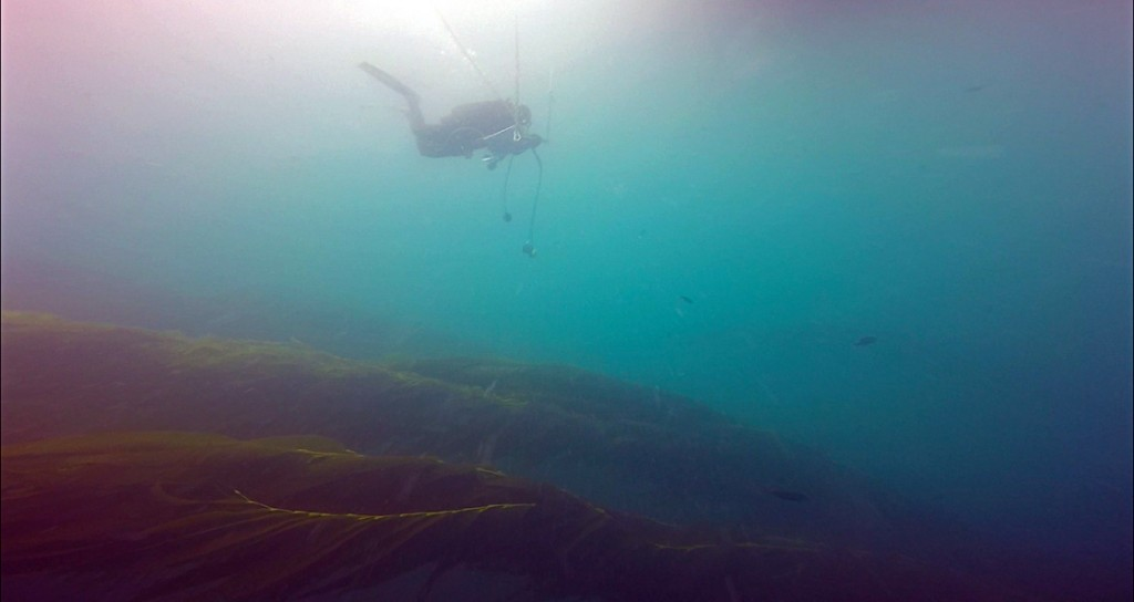The KFM always deploys a hang bar at 15ft with oxygen supplied from the surface. That way, as divers are off-gassing after a dive they have something to hang on to. The oxygen is for added safety. Here you can see the kelp laid over in the current, with the diver just above. Are you counting those fish?!