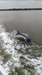 Dolphins playing in the wake of the Sea Dawg