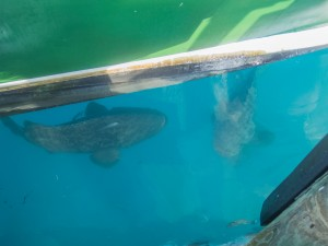 Goliath groupers hanging around underneath the MV Fort Jeff.