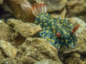 Nudibranch (Hypselodoris infucata)