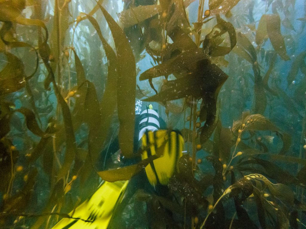 At times the kelp forest can get so dense that you can't see more than a body length ahead of you. In these cases, you also need to be extra cautious about entanglement.