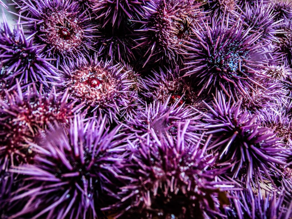 A pile of purple sea urchins (Strongylocentrotus purpuratus) that have already been measured make up just a portion of the contents of a typical ARM.
