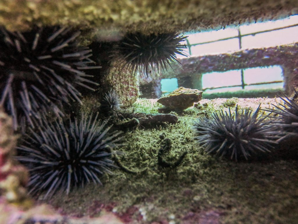 Young urchins find shelter in an ARM.