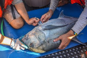 Inserting the acoustic tag into the ulua.