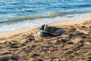 Two monk seals playing in the sand.