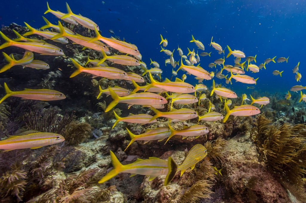 A school of goatfish cruises by me on a dive in the NOAA National Marine Sanctuary of the Florida Keys.